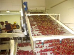 Conveyor processing equipment packing cherry orchard farm